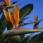 Bird of Paradise by R-Walker