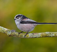 Long Tailed Tit by Trevsnature
