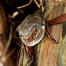 African Sheath-Tailed Bat -  Oldupia Gorge  - Tanzania by john  Lenagan
