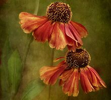 Heleniums by Mandy Disher
