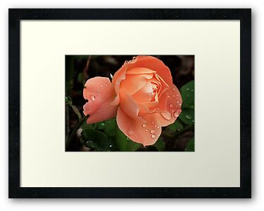 September Peach  Rose by lynn carter