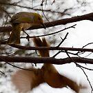 Fly away - White Plumed Honeyeater   - Kings Canyon Northern territory Oz  by john  Lenagan