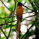 Young Male paradise fly-catcher - Isalo Madagascar by john  Lenagan