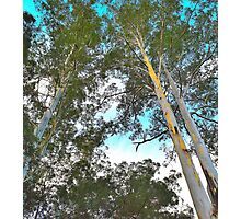 Blue Gum Canopy Photographic Print