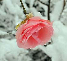 Rose in winter by RufderFreiheit