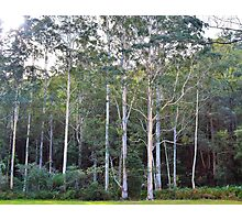 Blue Gums Photographic Print