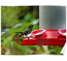 Booted Racket Tail Hummingbird In Mindo Poster
