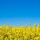 Rapeseed by dogboxphoto