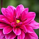 Delicious Dahlia by vivsworld