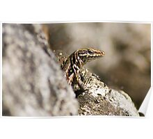 lizard checking its safe to sunbath (Macro) Poster