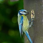 Blue tit by Andrew Jeffries