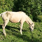 White Horse Grazing by rhamm