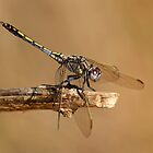 Dragonfly by JLOPhotography