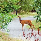 Roe Deer by Margaret S Sweeny