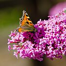 Small Tortoiseshell Butterfly by M.S. Photography/Art