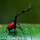 Another side of the male Giraffe Beetle  - Madagascar by john  Lenagan