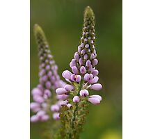 Wild Flower of Western Australia Photographic Print