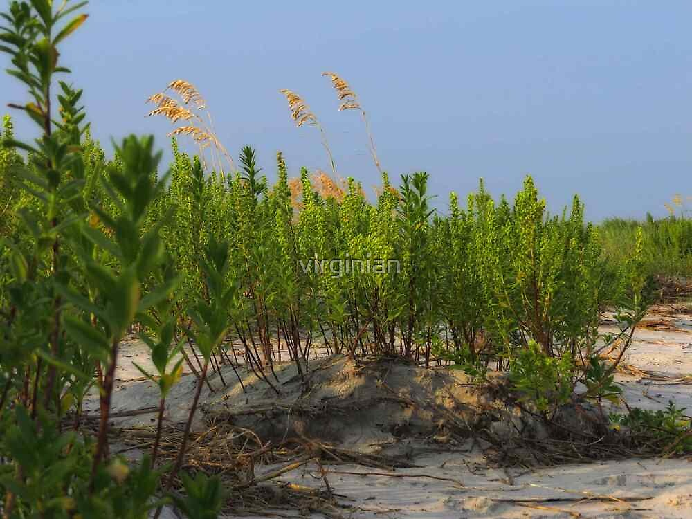 Sand Dune Weeds by virginian