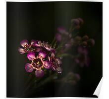 Geraldton Wax (Chamelaucium uncinatum) Poster
