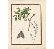 Circle of Madeleine Françoise Basseporte  Nut-Tree (left). Possibly Bush-Clover (right) Watercolor over pencil on vellum Photographic Print