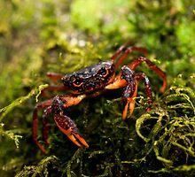 Terretrial Forrest Crab-  Antasibe Madagascar by john  Lenagan