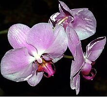Purple orchids by ♥⊱ B. Randi Bailey