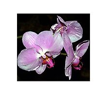 Purple orchids Photographic Print