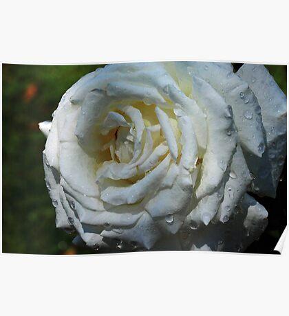 Pope John Paul II Hybrid Tea Rose Poster