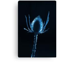 backlit teasel Canvas Print