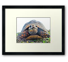 Red footed Tortoise Framed Print