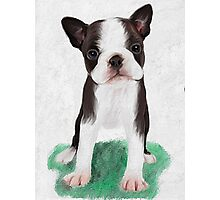 Boston Terrier puppy Photographic Print
