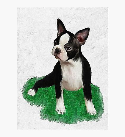 Boston pup Photographic Print