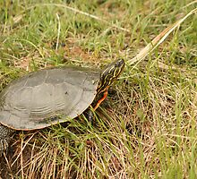 Painted Turtle Sunning on Grass by rhamm