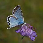 Chalkhill Blue male by Trevsnature
