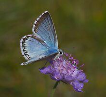 Chalkhill Blue male by Trevsnature