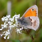 Small Heath - Coenonympha pamphilus by Lepidoptera