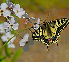 Swallow Tail Butterfly by Trevsnature