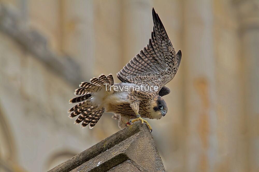 Peregrine Falcon by Trevsnature