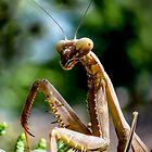 Praying Mantis by George I. Davidson