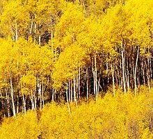 Golden Fall Aspens by nikongreg