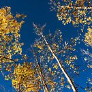 Blue Skies and Gold Leaves by Gregory J Summers