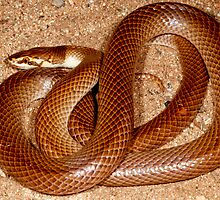 Myall Snake or Curl Snake ( Suta suta ) -  East MacDonald Ranges NT  by john  Lenagan