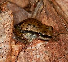 Similar to Littoria bicolor - but not ? -  tree frog  - East MacDonald Ranges NT  by john  Lenagan