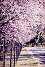 Flowering Cherries  by Deborah McGrath
