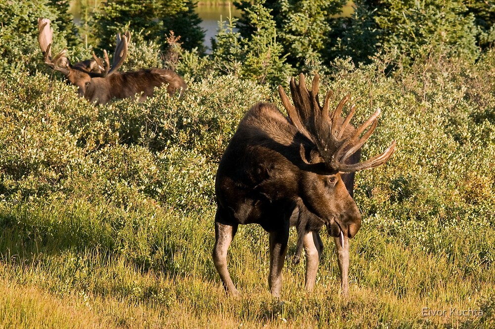 Moose tongue by Eivor Kuchta