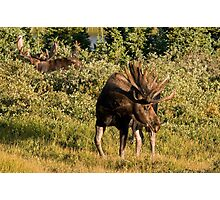 Moose tongue Photographic Print
