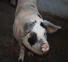 Piggy Greeting on the Farm by MyPixx
