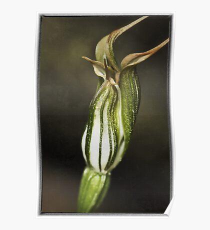 Jug Orchid Poster
