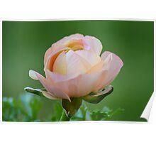 Ranunculus Peach Poster