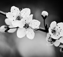 Blossoms in B&W by Alison Hill